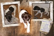 German Shorthair Retrievers-Great Family pet or hunting partner!