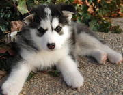beautiful siberian husky puppy for adoption